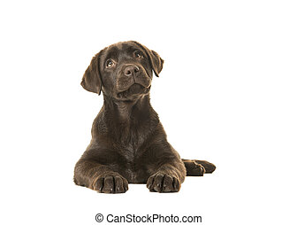 Brown labrador retriever puppy lying down and looking up