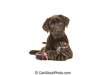 Brown labrador retriever puppy lying down seen from the front, with its paws in front of her holding a knotted rope bone and looking cute straight at the camera isolated on a white background