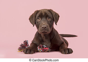 Brown labrador retriever puppy lying down seen from the front, with its paws in front of her holding a knotted rope bone toy and looking cute straight at the camera on a pink background