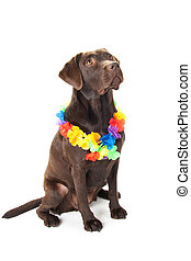 Brown labrador with hawaii lei