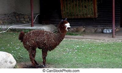 brown lama alpaca lie on grass