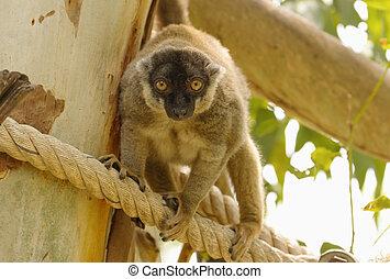 brown lemur holds a tree