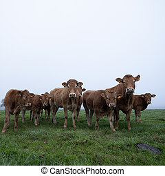 brown limousin cows in misty meadow on early morning in the countryside