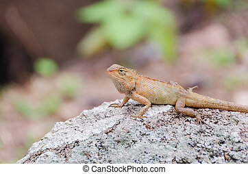 Brown lizard on a large stone in tropical wood