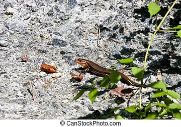Brown Lizard on Wall