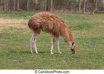 Brown llama guanicoe eating grass on meadow pasture
