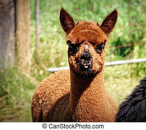 Brown Llama - close up of brown llama with tongue sticking...