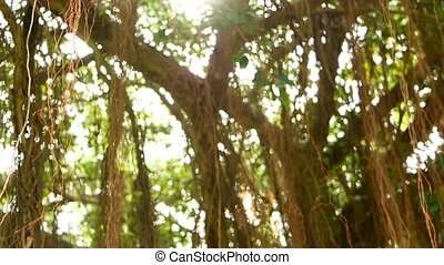 Brown long aerial roots of big Indian banyan tree hanging...