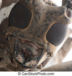 brown long horn beetle portrait
