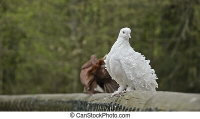 brown male fantail pigeon - fantail pigeon in courtship with...
