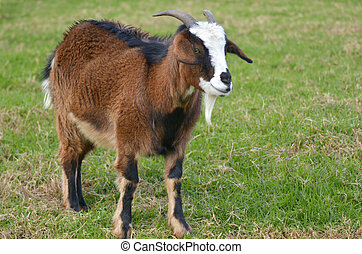 Brown male Goat