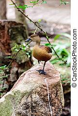 Brown mallard perching on rock