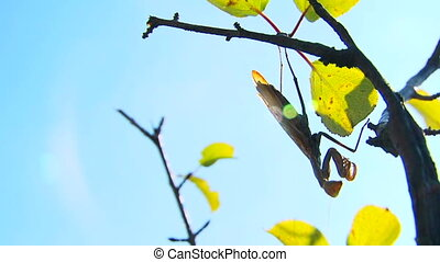 Brown mantis - Large brown mantis lies in wait, patiently...