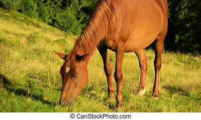 Brown mare grazing on pasture in late summer - Closeup of...