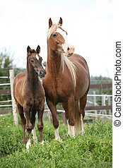 Brown mare with long mane standing next to the foal on ...