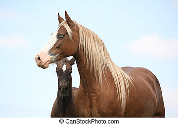 Brown mare with long mane standing next to the foal on pasturage
