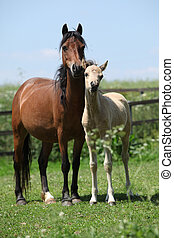 Brown mare with palomino foal on pasture