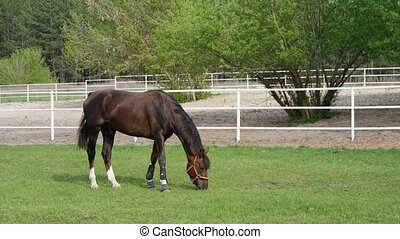 Brown mare with white fetlocks grazing sappy green grass in...