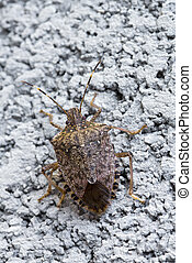 Brown Marmorated stink bug - Close-up of brown Marmorated ...