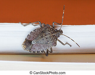 brown marmorated stink bug insect animal - Brown marmorated...