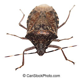 Brown Marmorated Stink Bug isolated