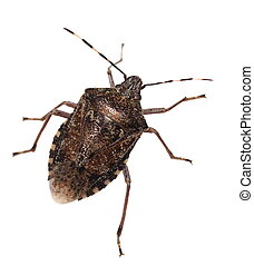 Brown Marmorated Stink Bug isolated on white background,...