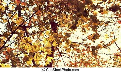 Brown marple leaves in autumn, sepia tone - Brown marple...