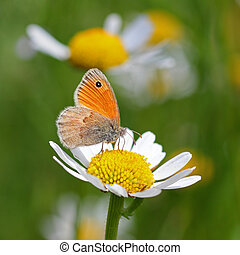 Brown meadow butterfly on a daisy flower