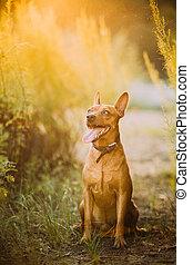 Brown Min Pin, miniature, pincher, Pinscher, Zwergpinscher Sitting Outdoor In Green Grass In Sunny Summer Evening. Summertime
