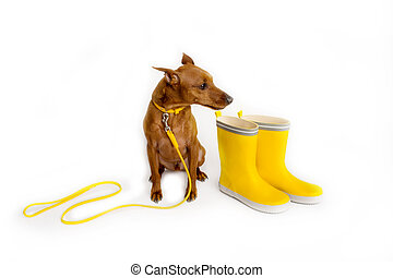 Brown miniature pinscher with a yellow leash. Master's yellow boots. The dog is waiting for the owner to walk.