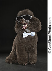 brown miniature poodle on black background