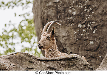 Brown mountain goat lying on the rocks