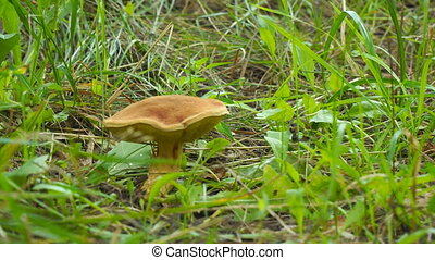Brown mushroom in grass - Brown mushroom in green grass