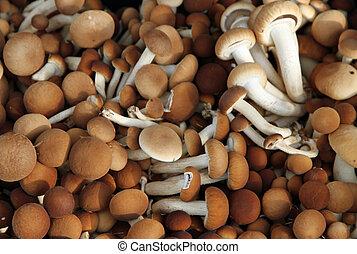 Brown mushrooms called Pioppini sold at local market