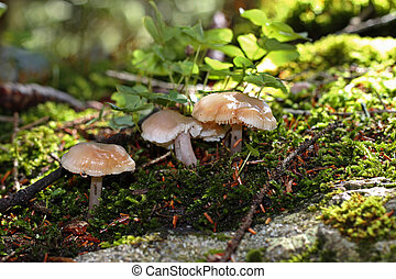 Brown mushrooms growing in the autumn forest
