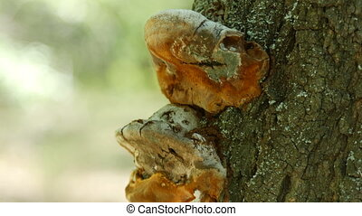 Brown mushrooms on the trunk of tree in the forest