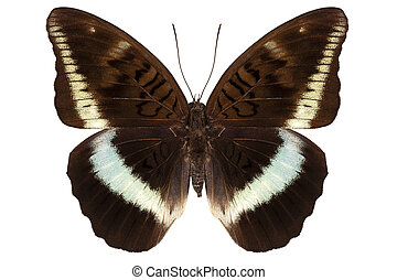 brown Nymphalidae butterfly