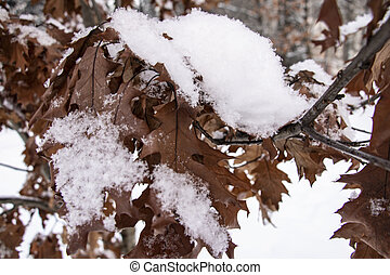 Brown oak tree leaves covered with hoarfrost. Close-up.