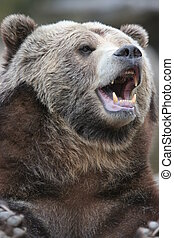 Brown or Grizzly Bear - Grizzly bear portrait