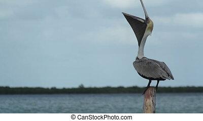 Brown pelican by the lagoon in ria largartos, mexico