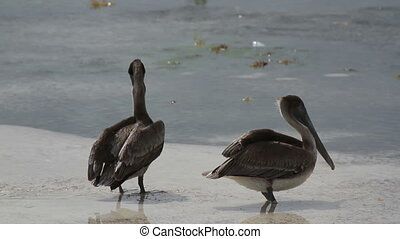 Brown pelican by the water's edge at sunrise, zihuatanejo,...