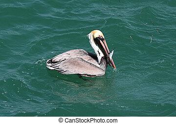 Brown Pelican Fishing In The Gulf - Brown Pelican (Pelecanus...