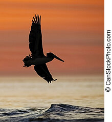 Brown Pelican in flight at sunrise - Jekyll Island, Georgia