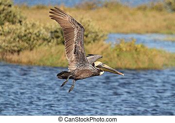 Brown Pelican In Flight - Brown Pelican (Pelecanus...