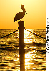 Brown Pelican in Golden Sunset - Brown pelican perched on a...