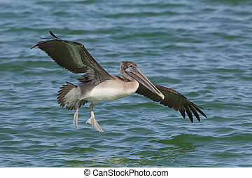 Brown Pelican landing in the Gulf of Mexico - Florida -...
