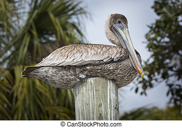 Brown Pelican on a wooden post birds of florida