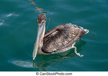 brown pelican on water