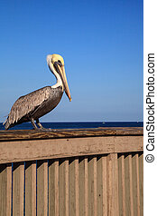 Brown Pelican Pelecanus occidentalis purchase on the side of...