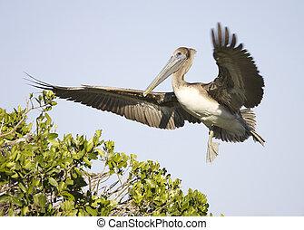 Brown Pelican, Pelecanus occidentalis, landing on mangrove...